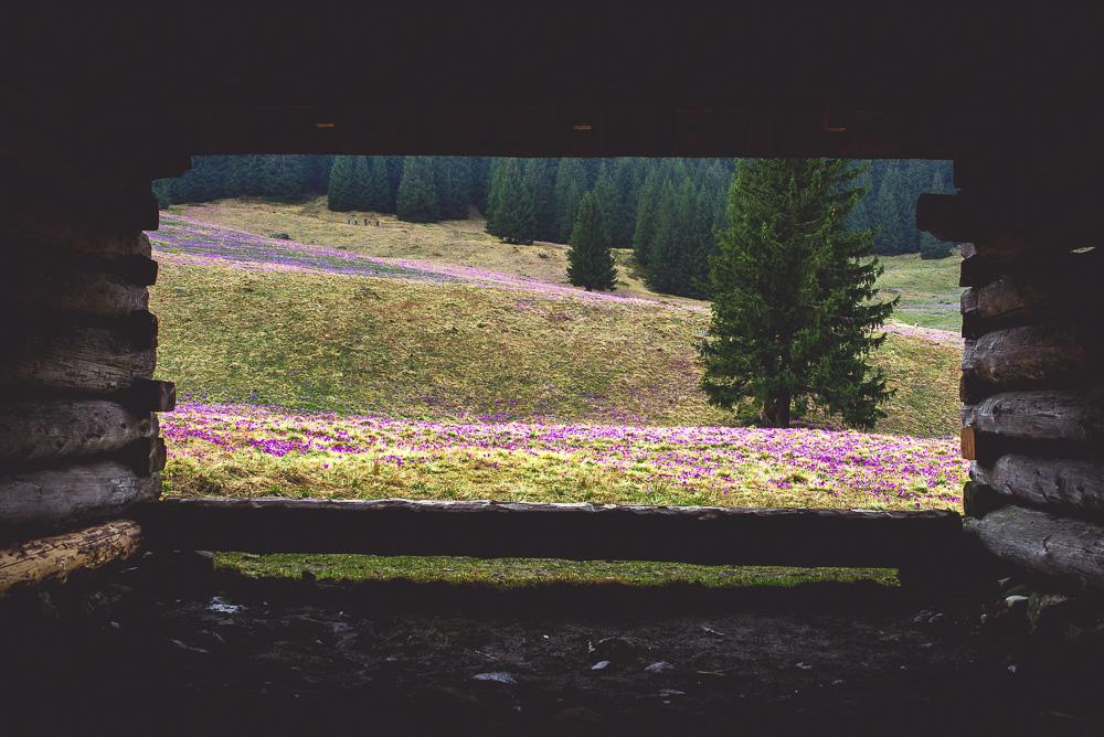 krokusy na polanie chochołowskiej