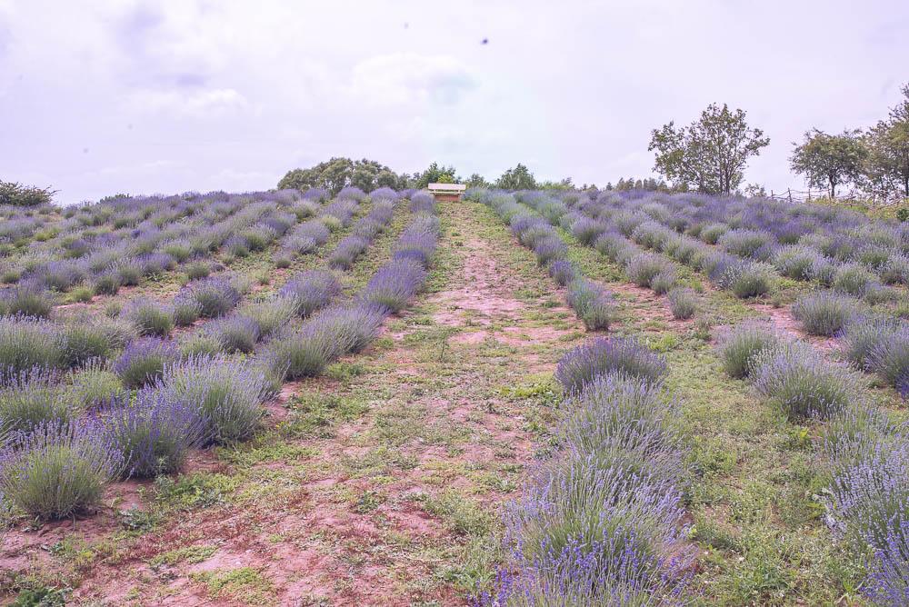 lawendowe pole nowe kawkowo