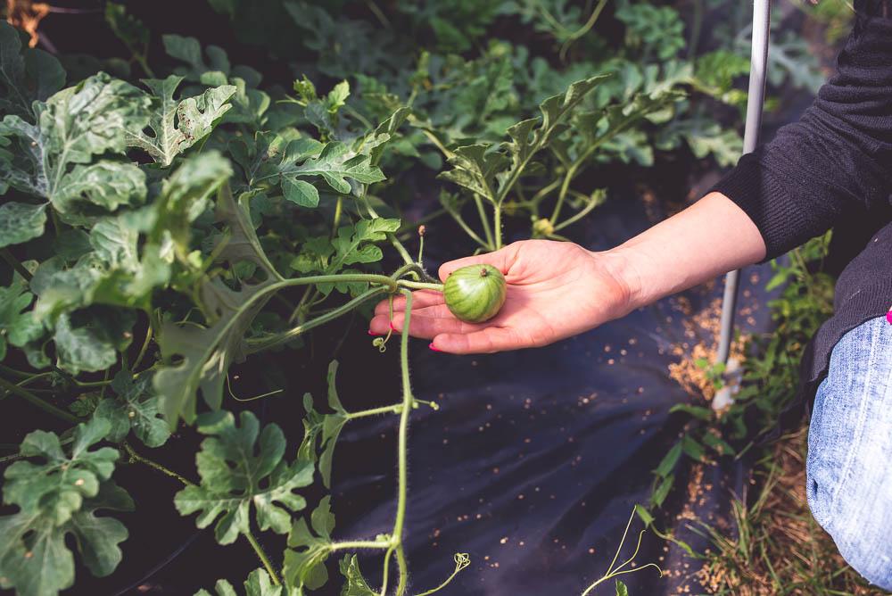 czy arbuz urosnie w polsce
