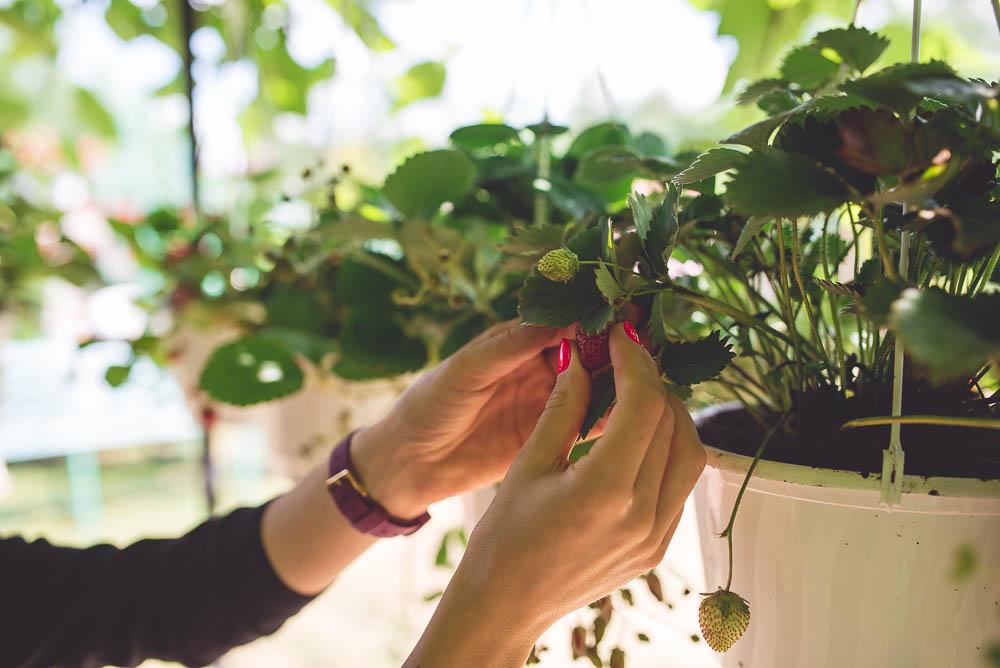ekologiczne truskawki