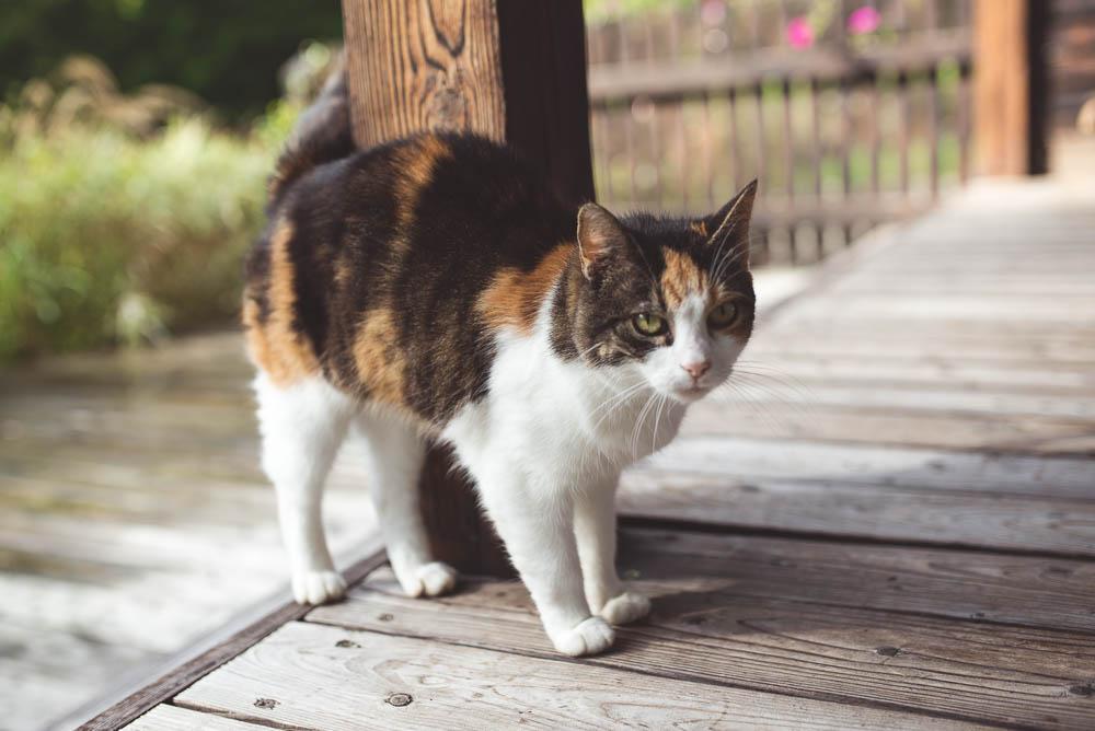 kot na wsi