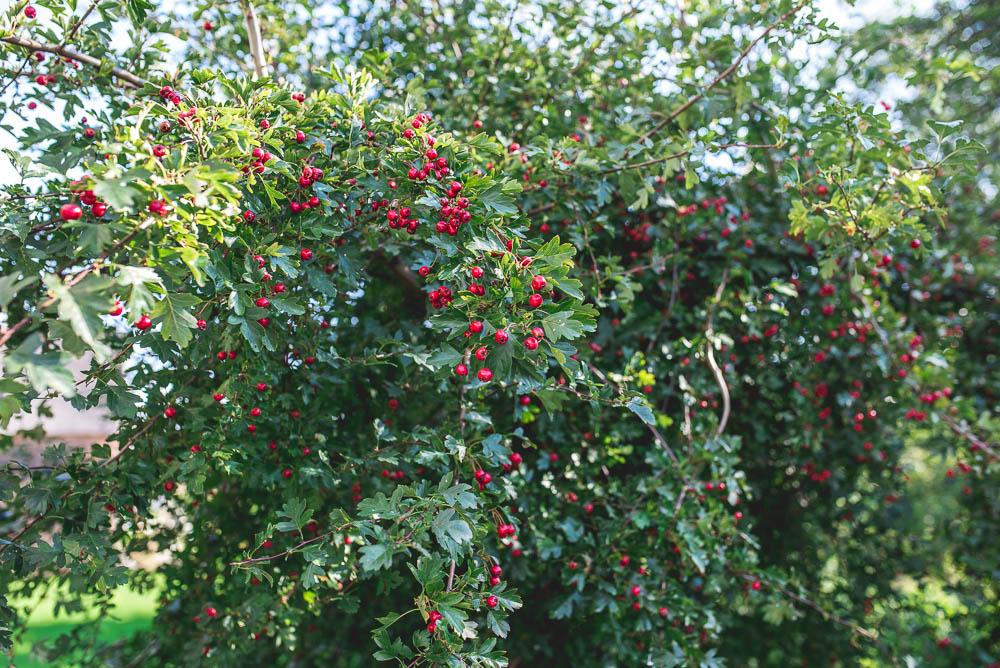 krzew na taras