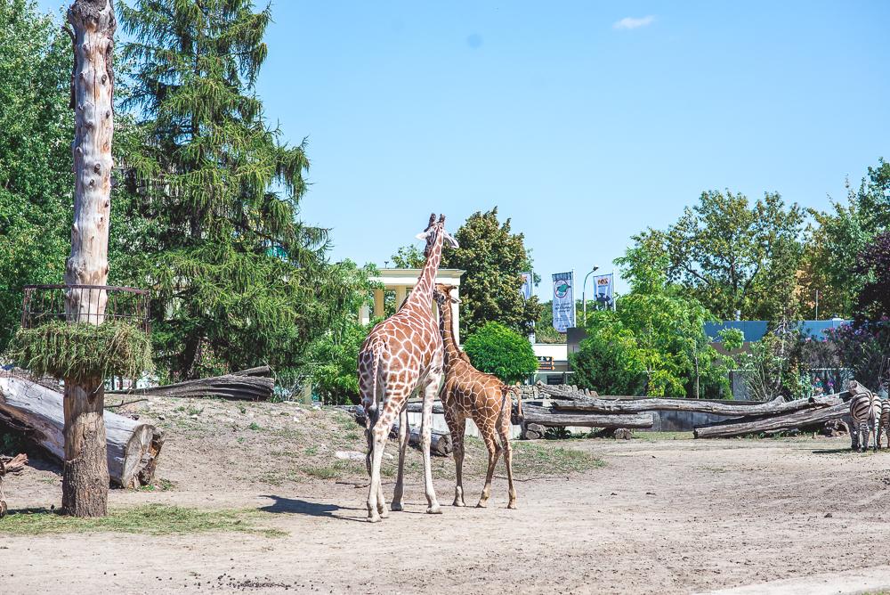 zyrafy w zoo